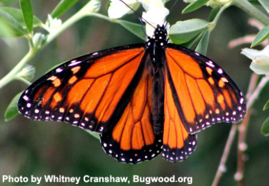 New Monarch Butterfly Studies May Provide Reasons for Optimism
