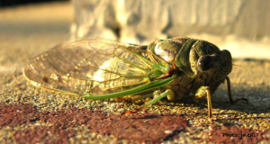 Cryptic Cicada Species