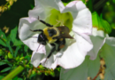 Protecting Pollinators in Your Lawn