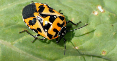 Do You Know the Harlequin Bug's Favorite Color?