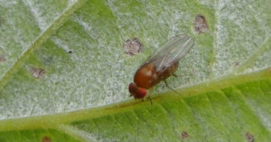 Could Repellents Be Useful in Protecting Crops From Spotted-Wing Drosophila?