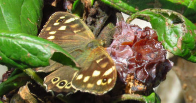 Speckled Wood feeding on ripe plum