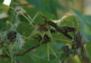 New Guide Offers Insights on How to Manage the Forest Tent Caterpillar