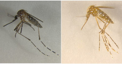 Another Step Forward in Genetic Engineering of Mosquitoes