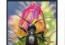 Cover Photo—The Coleopterists Bulletin 71(4)