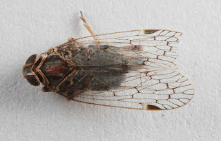 Cixiid planthoppers