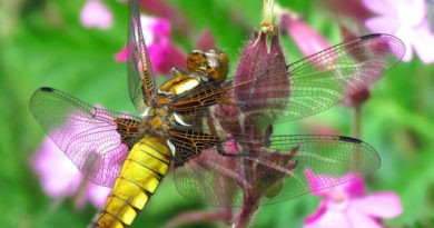 Broad-bodied Chasers