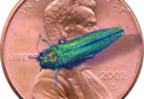 Chance to learn more about emerald ash borer
