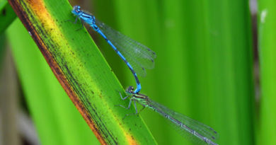 Common garden damselflies and dragonflies in the Hull area