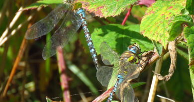 Do Migrant Hawkers migrate in groups?